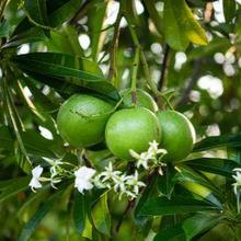 Salah satu buah beracun adalah buah bintaro