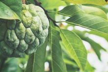 Manfaat daun srikaya salah satunya adalah mengatasi infeksi jamur
