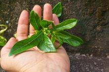 Rumput fatimah untuk melancarkan persalinan