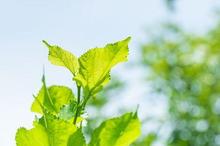 Manfaat daun murbei untuk kesehatan tubuh