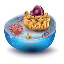 Fungsi ribosom adalah untuk sintesis protein