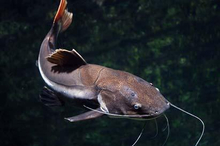 cara mengatasi mengobati racun patil ikan lele