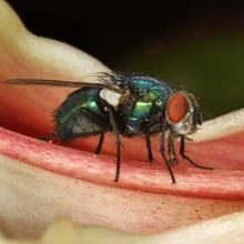 Cara mengusir lalat hijau dapat dilakukan dengan menjaga kebersihan rumah