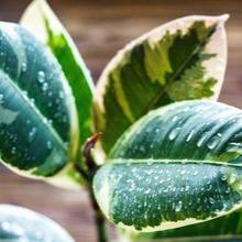 Salah satu manfaat daun karet kebo untuk kesehatan adalah mengurangi polusi udara
