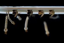 empat tahapan fase daur hidup nyamuk