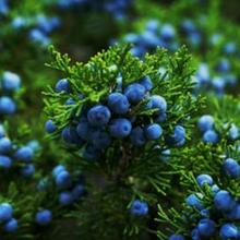 Juniper berry mengandung nutrisi dan senyawa tumbuhan yang baik untuk kesehatan.