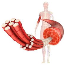Hipertrofi otot adalah istilah yang merujuk pada pertumbuhan sel-sel otot sehingga ukurannya menjadi lebih besar