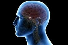 Kelenjar pituitari terletak di belakang hidung dekat bagian bawah otak
