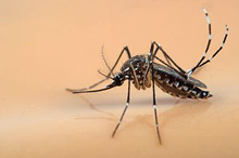 Nyamuk aedes aegypti menyebarkan penyakit melalui gigitannya
