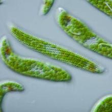 Klasifikasi kingdom protista adalah protista mirip hewan, protista mirip tumbuhan, dan protista mirip jamur