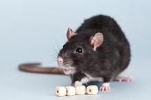 Digigit tikus yang menyebabkan luka
