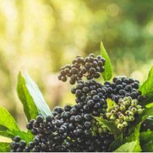 Salah satu varian buah elderberry yang paling sering dikonsumsi adalah black elderberry