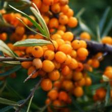Sea buckthorn adalah tanaman herbal yang baik untuk kesehatan