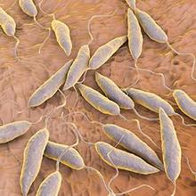 Leishmania adalah protozoa parasit yang memicu infeksi leishmaniasis