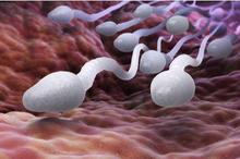 Spermatozoa atau sel sperma dewasa berbentuk seperti berudu