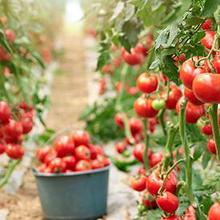 Tomat mengandung vitamin yang beragam, terutama vitamin C, vitamin A, dan vitamin K