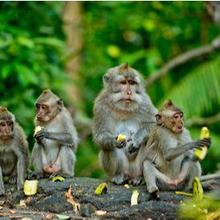 Virus monkey B atau herpes B menular dari monyet ke manusia dan bisa berbahaya