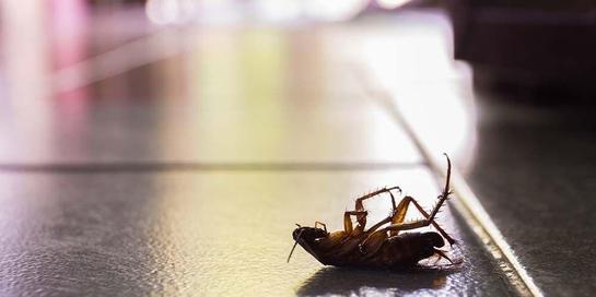 Ternyata ada berbagai bahaya kecoa yang mengintai penghuni rumah