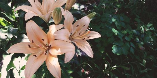 Salah satu tanaman beracun yang sering dijadikan tanaman hias adalah bunga lily