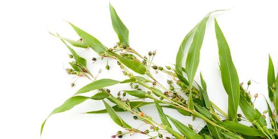 Rumput mutiara dipecara dapat menjadi obat kanker