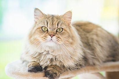 Cara menghilangkan kutu kucing perlu dilakukan untuk menjaga kesehatan kucing peliharaan dan keluarga Anda