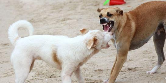 Virus rabies tidak hanya disebarkan oleh anjing saja
