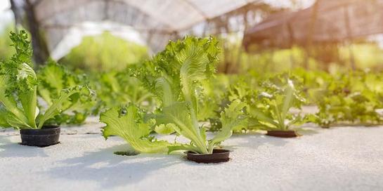 Selada hijau yang ditanam dengan teknik hidroponik jauh lebih bernutrisi ketimbang sayuran konvensional