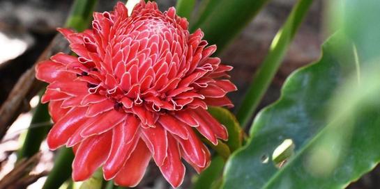 Di balik kecantikannya bunga kecombrang punya banyak manfaat kesehatan