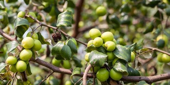 buah bidara