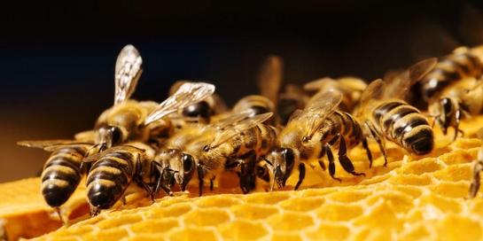 Propolis adalah getah diambil lebah dari berbagai macam pohon.
