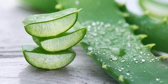 segudang manfaat lidah buaya untuk kesehatan dan kecantikan anda 1569208083