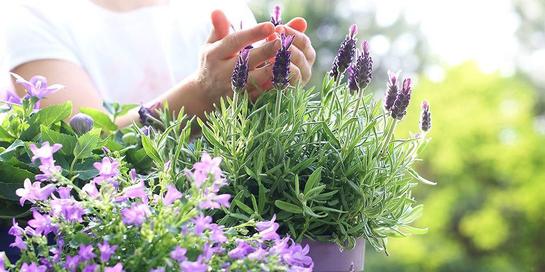 lavender termasuk tanaman pengusir nyamuk yang dapat Anda tanam sendiri