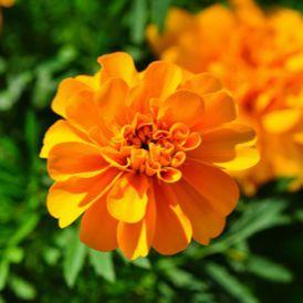 Manfaat Bunga Marigold alias Bunga Tahi Ayam untuk Kesehatan