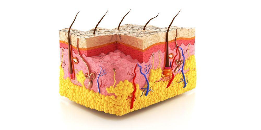 Struktur kulit manusia terdiri dari tiga lapisan