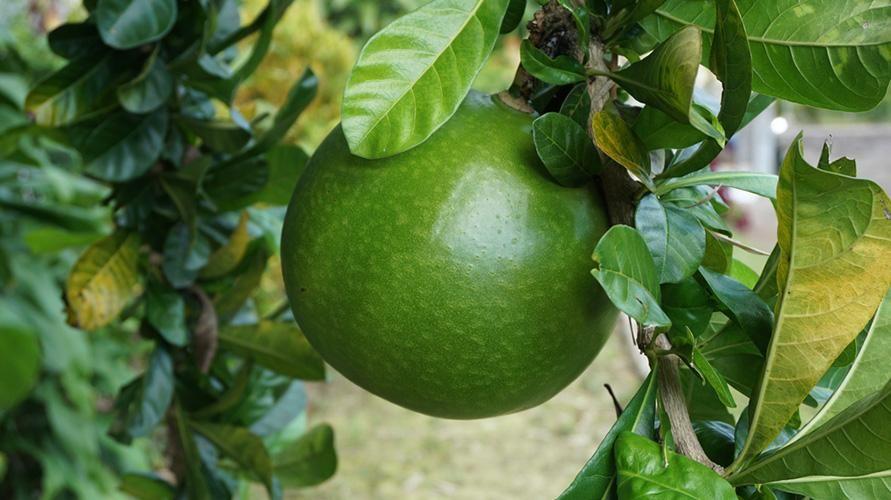 Manfaat buah berenuk berpotensi menjaga kesehatan