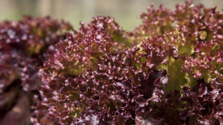 Selada merah dipercaya mengandung mineral dan vitamin yang baik untuk jantung.