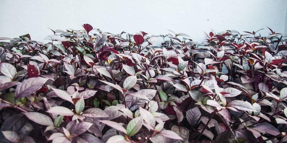 Manfaat daun ungu yang paling terkenal adalah untuk mengatasi wasir atau ambeien